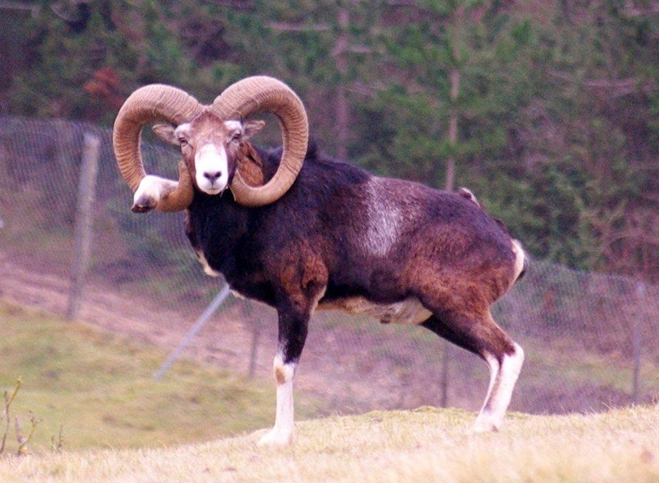 mouflons-carcassonne-lebouchardcamps